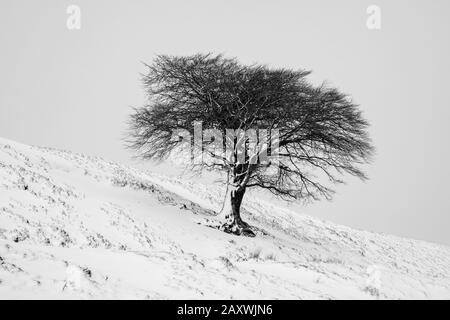 A lone tree on a hillside after a fall of snow, Leadhills, South Lanarkshire, Scotland. - Stock Photo