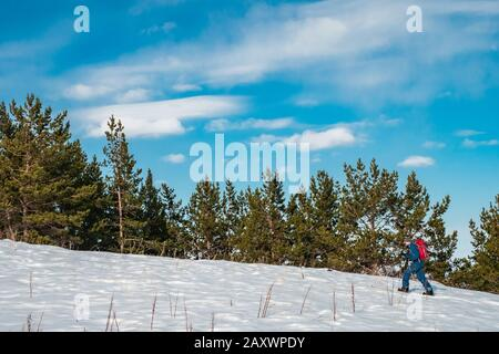 A man is engaged in skituring on split snowboarding. A man walks against a background of spruce forest. Mountains of Kyrgyzstan - Stock Photo