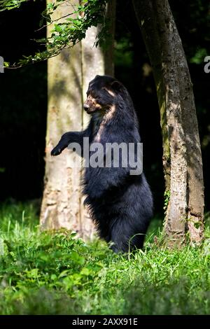 Spectacled Bear, tremarctos ornatus, Adult standing on Hind Legs - Stock Photo