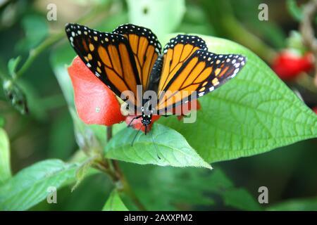Monarch Butterfly or Danaus plexippus, resting on some green foliage, in the jungle, Roatan, Honduras, Central America. - Stock Photo