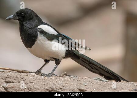 Eurasian Magpie  or common magpie, Pica pica, Ladakh, India - Stock Photo