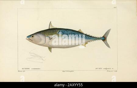 Auxis from Histoire naturelle des poissons (Natural History of Fish) is a 22-volume treatment of ichthyology published in 1828-1849 by the French savant Georges Cuvier (1769-1832) and his student and successor Achille Valenciennes (1794-1865). - Stock Photo
