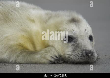 Grey seal, (Halichoerus grypus), female with young, young, newborn, North Sea, Wadden Sea, Schleswig-Holstein, Germany, grey sea - Stock Photo