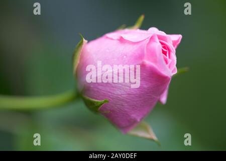 Close-up of dew drops on a pink rose - Stock Photo
