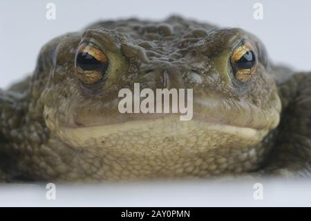Erdkroete,  Dedtail, Bufo bufo,  Common Toad, Studio - Stock Photo