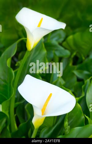 Two white calla or arum lily flowers against a backdrop of green leaves. - Stock Photo