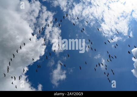 Mixed flock of geese flying over farmland on a sunny day in England. The flock is flying in bright sunshine against a blue sky with billowing clouds - Stock Photo