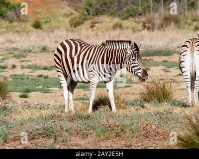 Close up of a Birchells Zebra eating grass in South Africas Eastern Cape region - Stock Photo