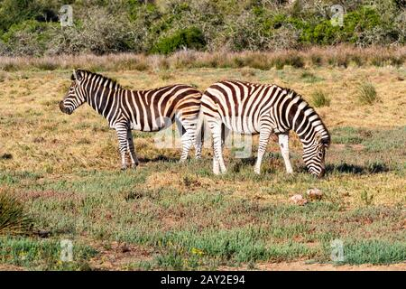 Close up of a pair of Burchells Zebra grazing in South Africas Eastern Cape region - Stock Photo