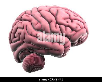 3d rendered illustration of the human brain anatomy - Stock Photo