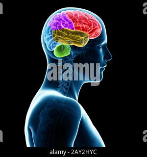 3d rendered illustration -  sections of the human brain - Stock Photo