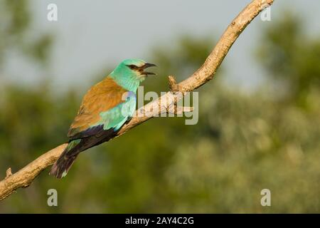 European roller Coracias garrulus, adult, calling from perch, Kiskunfélegyháza, Hungary in June. - Stock Photo
