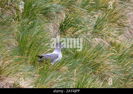 Light-mantled albatross Phoebetria palpebrata, adult, perched amongst cliff-side vegetation, Gold Harbour, South Georgia in January. - Stock Photo