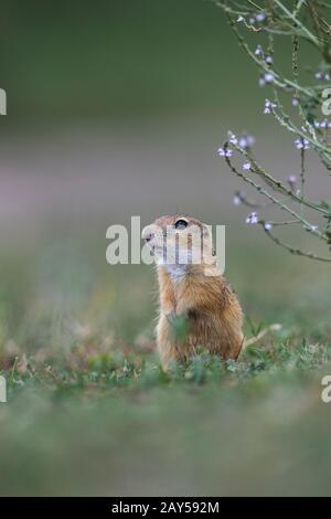 European Ground Squirrel; Spermophilus citellus; Hungary - Stock Photo