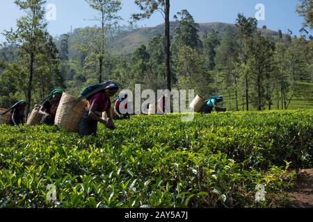 Tea plucking in Sri Lanka - Stock Photo