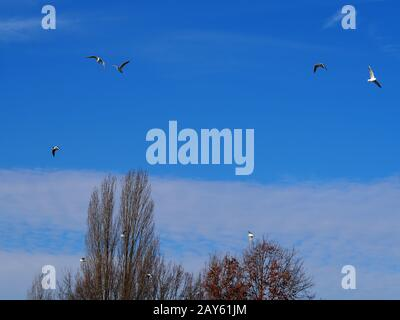 seagulls flying in strong wind above bare trees under a blue and sunny sky - Stock Photo