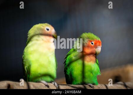 Pair of Lilians Lovebirds (Agapornis) parrots on tree branch - Stock Photo