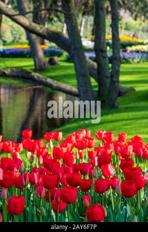Keukenhof, Netherlands. Colourful red tulips on display at Keukenhof Gardens, Lisse, South Holland. Stock Photo
