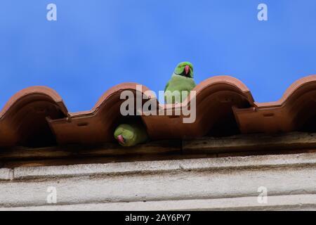 Rose ringed parakeets (green parrot, ring-necked, ssittacula krameri) nesting on rooftop tiles - Stock Photo