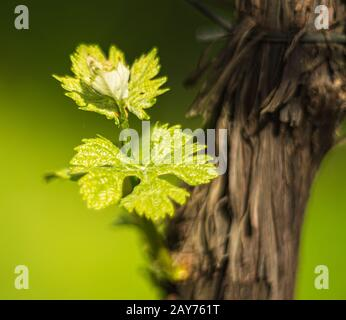 The vineyard in spring: vine shoots growing in spring. Artistic blurred effect. Springtime. - Stock Photo