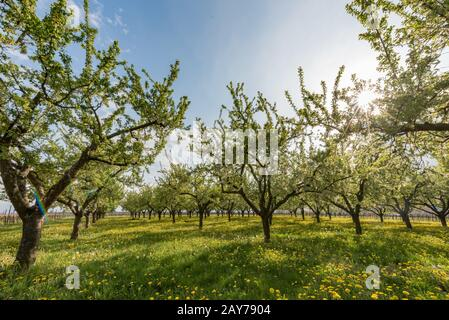 Fruit plantation in the sun setting with flowering dandelion - Stock Photo