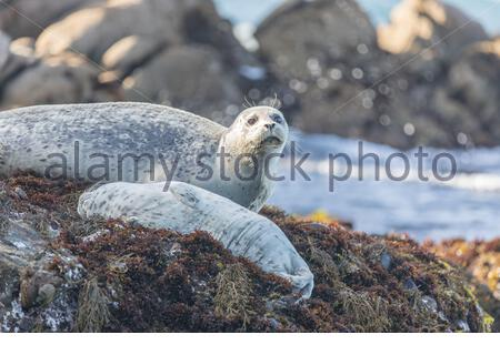 Spotted Adult Male Harbor Seal (Phoca vitulina) Watching over his sleeping baby. - Stock Photo