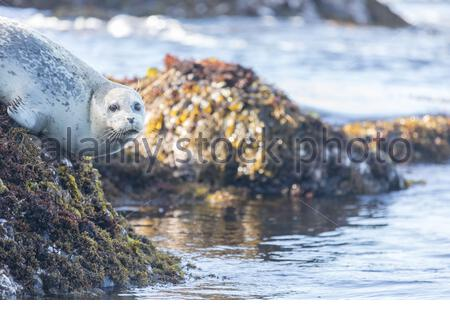 Spotted Adult Male Harbor Seal (Phoca vitulina) hanging on a rock. - Stock Photo