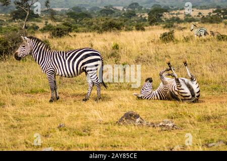 Three Zebras with one rolling on the ground - Stock Photo