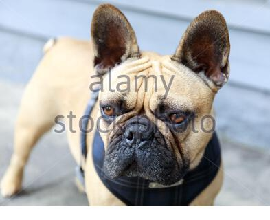 French Bulldog Adult Male Fawn in a street in San Francisco - Stock Photo
