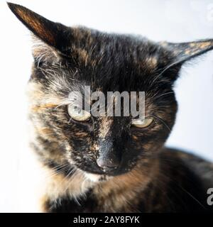 Isolated portrait of a tortoiseshell cat with an expression on her face - Stock Photo