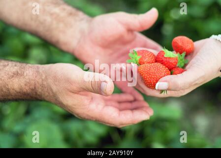 Farmer hands and woman hands holding handful of ripe strawberries, farm field in background. - Stock Photo