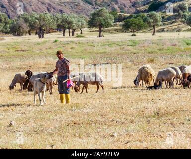 Shepherd with his grazing sheep and goats in a field in Lefka village, Cyprus
