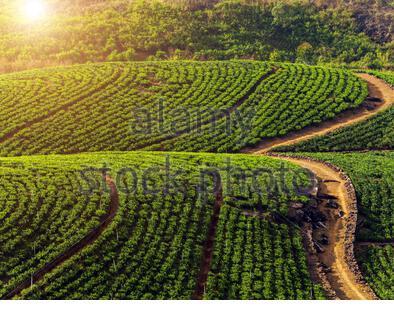 Tea plantation on the hill, Ceylon, Sri Lanka - Stock Photo