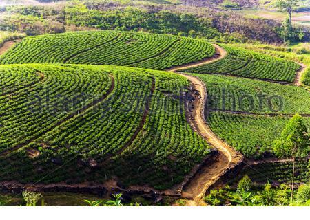 Green Tea plantation on the hill, Ceylon, Sri Lanka - Stock Photo