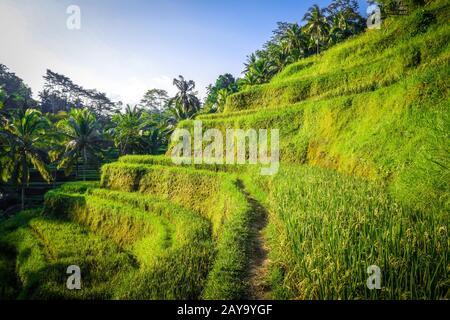 Paddy field rice terraces, ceking, Ubud, Bali, Indonesia - Stock Photo