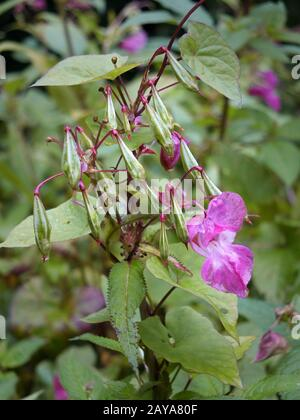 A close up of Himalayan balsam flowers and seedpods growing in wetland near a river with raindrops Stock Photo