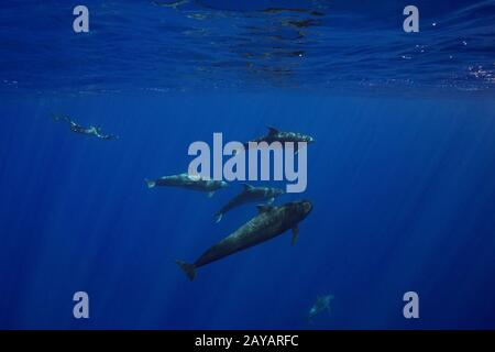 marine biologist Jeff Milisen dives to photograph a a pod of bottlenose dolphins, Tursiops truncatus, interacting with a short-finned pilot whale - Stock Photo