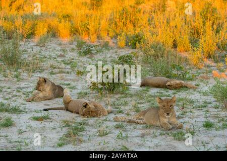 The scene of two lionesses (Panthera leo) with 8 about 6 months old cubs (4 each) sleeping and playing after feeding on a warthog in the Gomoti Plains