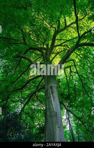 Blick in das Blätterdach eines begrünten Laubbaums - Stock Photo