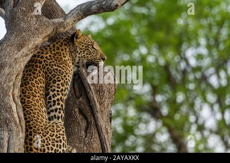 A Leopard (Panthera pardus) sitting in a tree in the Gomoti Plains area, a community run concession, on the edge of the Gomoti river system southeast - Stock Photo