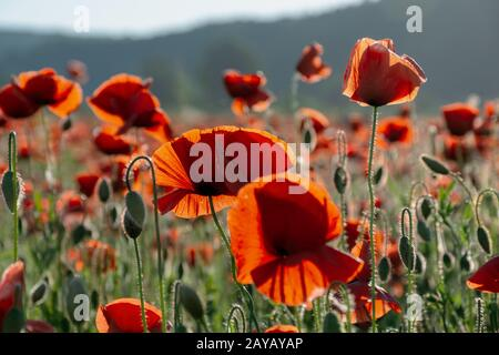 blooming field of red poppy flowers at sunset. abstract nature blur. nature scenery with blurred background in evening light - Stock Photo