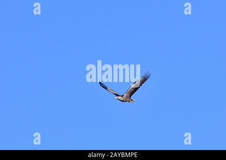 Seeadler - Stock Photo