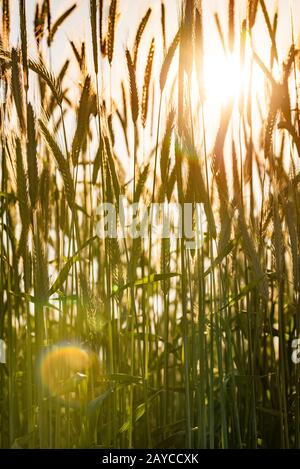 Wheat field. Ears of golden wheat close up. Beautiful Nature Sunset Landscape. - Stock Photo