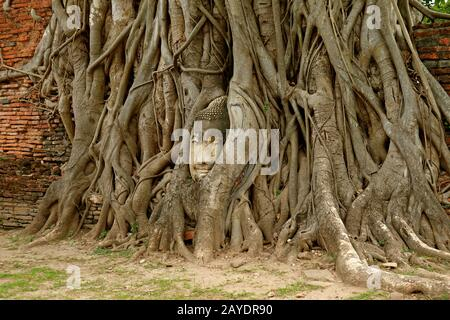 Head of a Buddha Image in the Bodhi Tree Roots in Wat Mahathat Ancient Temple, Ayutthaya Historical Park, Thailand - Stock Photo