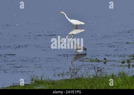 Great egret and Grey heron - Stock Photo