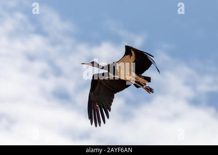 bird White-bellied Stork fly, Ethiopia - Stock Photo