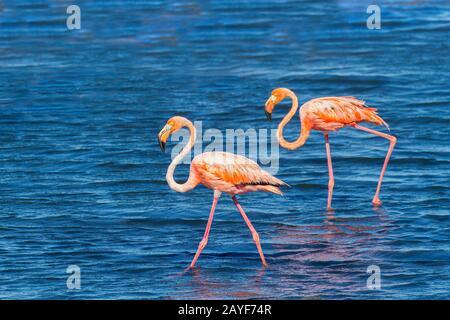 Two red flamingos walk in lake at coast - Stock Photo