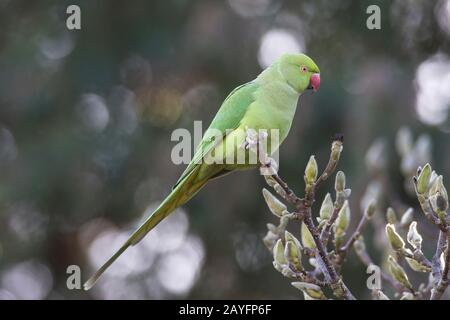 green Ring-neck Parakeet psittacula krameri in a back garden in Northampton on the edge of Abington Park, England, UK. - Stock Photo