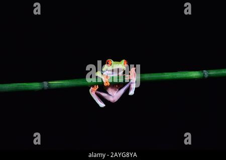 red eyed tree frog on a black background