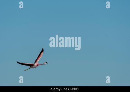 James flamingo (Phoenicoparrus jamesi), also known as the puna flamingo in flight at the Chaxa Lagoon, Soncor section of Los Flamencos National Reserv - Stock Photo